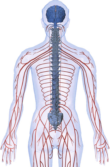 Spinal Nerves Panzica Family Chiropractic